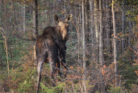 A moose looking back at the camera.